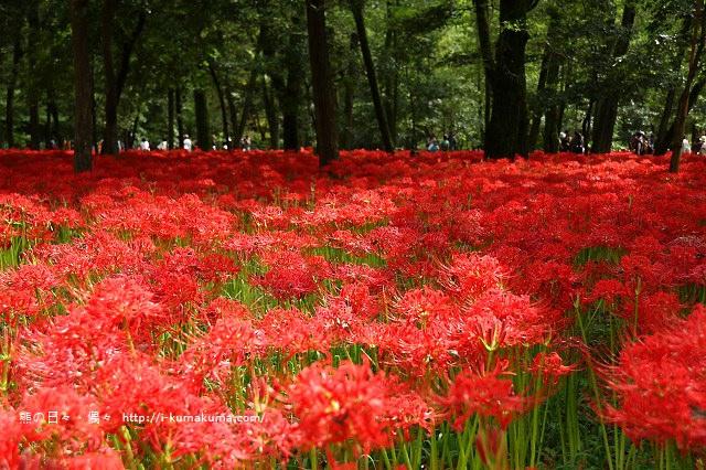 埼玉巾著田曼珠沙華公園(彼岸花)-K24A6708