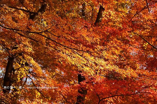 河口湖紅葉迴廊紅葉-K24A1463
