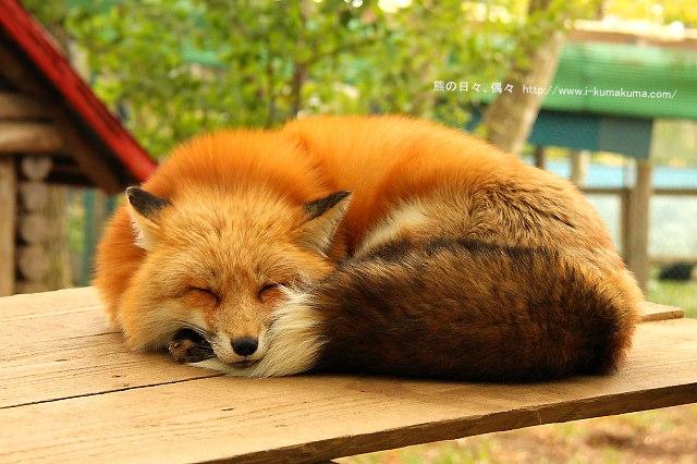 藏王狐狸村-IMG_0664