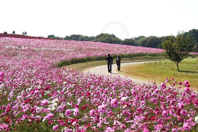茨城國營日立海濱公園掃帚草-IMG_3327