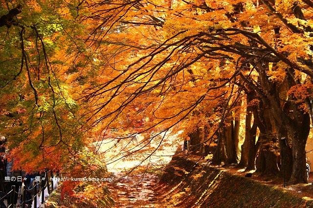 河口湖紅葉迴廊紅葉-K24A1318