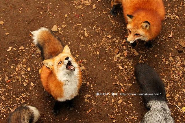 藏王狐狸村-IMG_0485