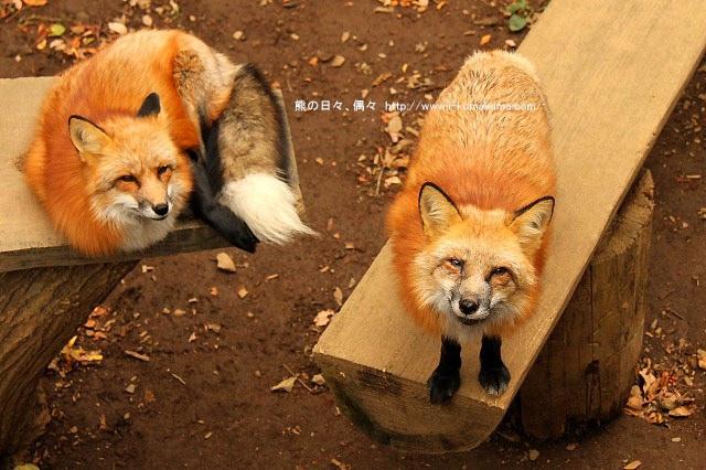 藏王狐狸村-IMG_0497