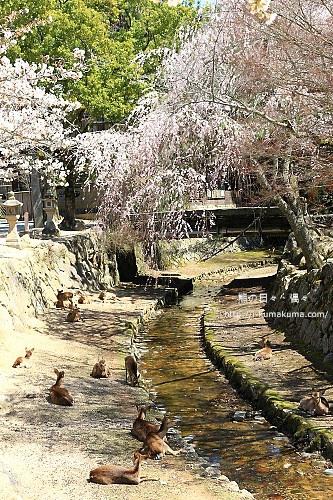 廣島嚴島神社-IMG_7292