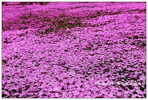 瀧上芝櫻公園-15
